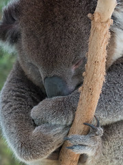 Sleeping Koala (brentflynn76) Tags: cute face animal fur zoo furry sleep australia sleepy koala asleep marsupial