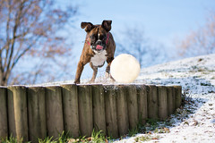 Ready for the catch (Tams Szarka) Tags: winter dog pet snow nature animal puppy outdoor boxerdog