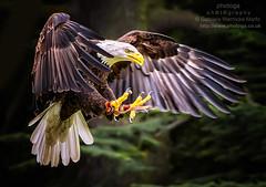 Attack Mode (photoga photography) Tags: england nature birds canon birdsinflight birdsofprey birdsgallery animalkingdomelite yourbestoftoday photogaphotography