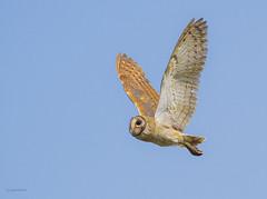 Barn Owl (rejaul_karim.rk69) Tags: barnowl tytoalba tytonidae rejaulkarim