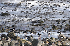 Dunlin & Oyster Catchers (Keith Grafton) Tags: birds dunlin oystercatchers