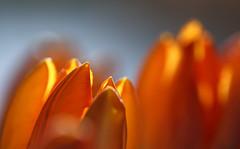The Groundhog Said ... (AnyMotion) Tags: flowers orange plants macro primavera floral colors petals spring colours frankfurt tulip vase makro printemps bltenbltter tulipa farben frhling groundhogday tulpe 6d 2016 makroaufnahmen anymotion canoneos6d predictionofanearlyspring