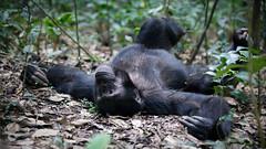 Resting chimpanzee (Lil [Kristen Elsby]) Tags: africa travel nationalpark chimp wildlife topv1111 ape chimpanzee uganda primate chimpanzees travelphotography kibale kibalenationalpark canon5dmarkii
