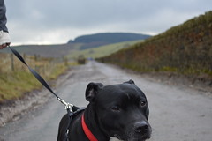 Harvey the Staffy | Countryside Walk (Pendlelives) Tags: dog forest landscape countryside outdoor blurred bull terrier staffordshire focused bakground staffy pendle