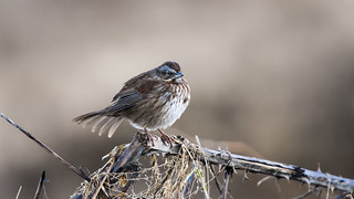 Song Sparrow, Sikes Lake,  1-11-2016