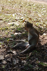 Monkey, Angkor, Day 2, Siem Reap, Cambodia (ARNAUD_Z_VOYAGE) Tags: street city building art beach nature architecture landscape asia cambodia state action country capital southern portion southeast peninsula region department indochina municipality