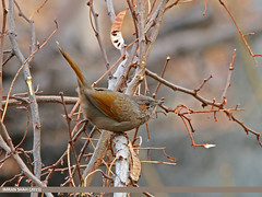 Streaked Laughingthrush (Trochalopteron lineatum) (gilgit2) Tags: pakistan birds fauna canon geotagged wings wildlife feathers sigma tags location species category avifauna gilgit gilgitbaltistan sigma150500mmf563apodgoshsm imranshah canoneos70d jutial trochalopteronlineatum streakedlaughingthrushtrochalopteronlineatum gilgit2