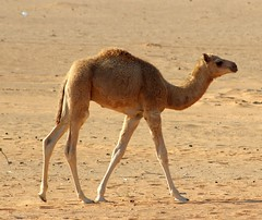 Confident (gordontour) Tags: animals desert uae arabia environment camels rak unitedarabemirates rasalkhaimah