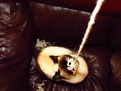 """Cuerda mgica"" (Adrin Ernesto Zea Berolatti) Tags: color lana wool peru cat kitten feline play siamese sala rope livingroom gata meow concept sureal miau nany juega"