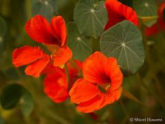 Tropaeolum majus (Shiori Hosomi) Tags: flowers plants japan tokyo february tropaeolum   2016 tropaeolaceae geraniales      23