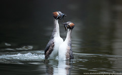 Great Crested Grebes (Alastair Marsh Photography) Tags: lake bird water birds animal animals dance weed wildlife yorkshire feathers feather waterbird britishwildlife grebe greatcrestedgrebe grebes britishbirds waterdance britishbird greatcrestedgrebes britishanimals weeddance yorkshirewildlife britishanimal greatcrestedgrebedance greatcrestedgrebeweeddance greatcrestedgrebewaterdance