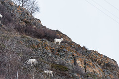 DC0_6961 (Eisbier) Tags: winter mountain animal alaska mammal nikon sheep sigma d750 grazing dall sewardhighway 150500