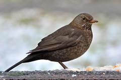 Bird (sylvette.T) Tags: brown white bird nature blackbird 2016 merlette femaleblackbird sigma120300 d5100 nikond5100