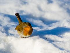 pettirosso (santi_riccardo) Tags: bird neve uccello fotografica caccia pettirosso