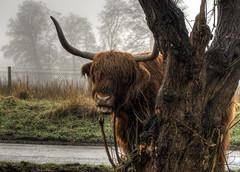 Hiding Highland Coo, Avington, Hampshire (neilalderney123) Tags: tree animal fog cow funny horns olympus coo omd highlandcoo omdem5km2 2016neilhoward