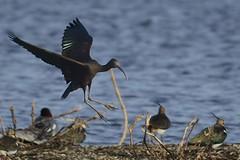 _HNS6886 Zwarte Ibis : Ibis falcinelle : Plegadis falcinellus : Brauner Sichler : Glossy Ibis