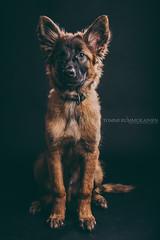 A workingline Tervueren (Tommi--) Tags: dog pet puppy shepherd canine belgian tervueren