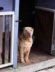 Yuna (Purple Pei) Tags: dog nikon canine wrinkles pei shar d7200