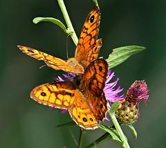 due farfalle - Pianello di Ostra (walterino1962) Tags: foglie ombre luci fiori ramo disegni colori riflessi ancona farfalle pianellodiostra