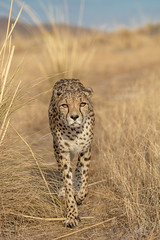 Face to Face (ClaudiB.) Tags: nature animal animals tiere nikon wildlife wildanimal cheetah 1001nights cheetahs tier gepard geparden nikond7100