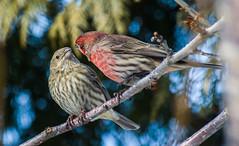 Roselin Familier | Mle, Femelle (staubin.gabriel) Tags: cute birds couple oiseaux familier roselin femelle mle