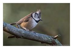 Crested Tit (Lophophanes cristatus) (KRHP) Tags: birds scotland avian moray crestedtit lophophanescristatus