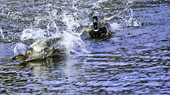 The Chase ...is on !! (Elaine 55.) Tags: water ducks mallard drake