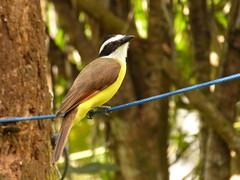Pecho amarillo (Pitangus sulphuratus) (Jorge Solís Campos) Tags: naturaleza bird nature animal fauna costarica wildlife ave wildanimal pájaro pitangussulphuratus animalsalvaje pérezzeledón pechoamarillo vidasalvaje