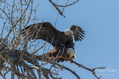 Bald Eagles copulating sequence - 14 of 28