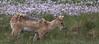 Chinese Water Deer (Alan-Taylor) Tags: uk canon mammal wildlife deer rspb cwd 70d chinesewaterdeer sigma150500 rspbtitchwell