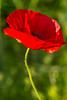 field poppy (RCB4J) Tags: red flower macro art nature photography scotland flora wildflowers ayrshire papaverrhoeas fieldpoppy tamronspaf90mmf28dimacro11 naturethroughthelens sonyslta77v ronniebarron rcb4j