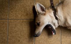 Willie (Loree R.) Tags: dog yellow golden canine can perro amarillo ear canino dorado rubio blondedog orejas colmillo caninetooth perrorubio perrogritando yelingdog