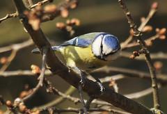 Blue Tit (Prank F) Tags: blue bird nature tit wildlife sandy thelodge rspb bedfordshireuk