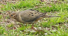 Mourning Dove (lycaenidae_nm) Tags: brooklyn