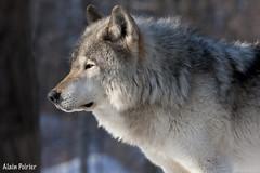 Loup Gris-Timberwolf (alainpoirier48) Tags: parcomega timberwolf omegapark loupgris