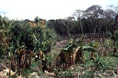 Bahamas 1989 (769) San Salvador (Rdiger Stehn) Tags: analog 35mm natur slide dia scan insel 1989 bahamas amerika 1980s landschaft sansalvador thebahamas plantage karibik nordamerika mittelamerika contax137md bananenpflanze kleinbild canoscan8800f kbfilm westindischeinseln outislands 1980er familyislands diapositivfilm
