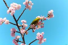 メジロとさくら (Matryokeshi) Tags: flowers bird japan tokyo cherryblossom 日本 sakura nippon 東京 mejiro さくら весна メジロ flowerlovers сакура япония токио цветениесакуры spring2016 люблюцветы мэдзиро sakuraandmejiro