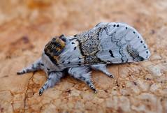 Sallow Kitten. Furcula furcula. Notodontidae (gailhampshire) Tags: kitten notodontidae sallow furcula taxonomy:binomial=furculafurcula