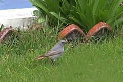 Black Redstart (1W male), Hartlepool Headland (JR Studio) Tags: black bird gardens memorial chat phoenicurus headland tbc migrant redstart hartlepool dbc ochruros