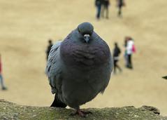 Just resting on one leg (elianek) Tags: barcelona macro bird nature animals closeup spain espanha europa europe pigeon dove natureza bcn catalunya parcguell animais parkguell pomba