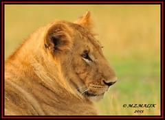 YOUNG SUB-ADULT MALE CUB (Panthera leo)  ......MASAI MARA......SEPT 2015 (M Z Malik) Tags: africa nikon leo kenya wildlife ngc safari lions kws lioncubs masaimara d3x flickrbigcats exoticafricancats exoticafricanwildlife 200400mm14afs
