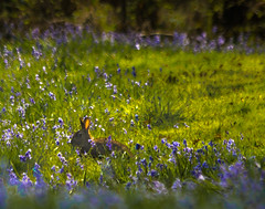 Shhh (prueheron) Tags: light rabbit field bluebells woodland spring shade