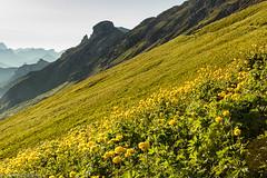 Un mare di botton d'oro (cesco.pb) Tags: flowers italy mountains alps canon italia fiori alpi montagna trentino dolomites dolomiti dolomiten prati valdifassa passopordoi trentinoaltoadige canoneos60d tamronsp1750mmf28xrdiiivcld