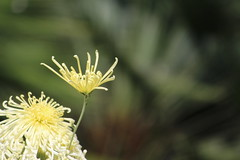 IMG_0730 (eve_manning) Tags: park flowers autumn newzealand auckland domain wintergardens