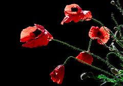 DSC_6029 (kid.jambo) Tags: red nikon fiori rosso papaveri contrasto d7000