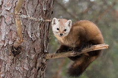 Pine Marten (NicoleW0000) Tags: wild ontario canada nature pine forest photography wildlife explore marten pinemarten explored inexplore