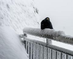 Alpendohle: Please! (jaeschol) Tags: winter switzerland alpine pilatus chough ch hergiswil bergdohle nidwalden alpendohle