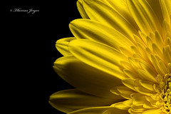 Around the Corner 0402 Copyrighted (Tjerger) Tags: portrait plant black flower macro nature floral beautiful beauty yellow closeup blackbackground wisconsin corner petals spring flora natural gerbera bloom around gerberadaisy aroundthecorner