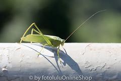 Argentinien_Insekten-85 (fotolulu2012) Tags: tierfoto
