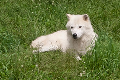 Arctic Wolf 1 (Bram Blenk) Tags: wild animals parcomega